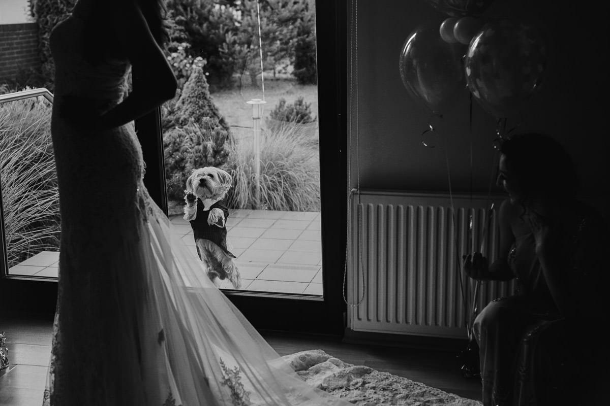 pies we fraku podgląda Pannę Młodą