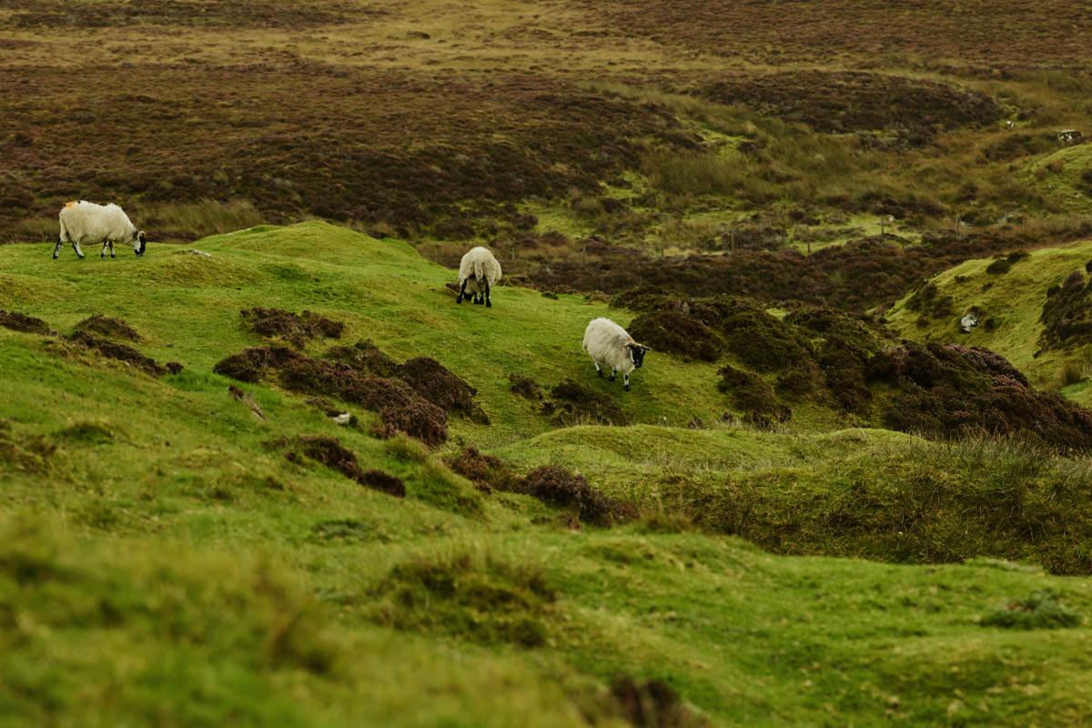 Isle of Skye - owce